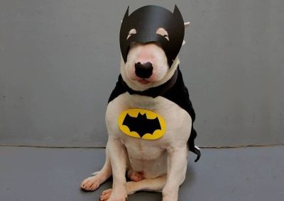 Bull Terrier disfraz super heroe