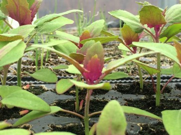 Tree spinach - we grow this, I love the sparkly magenta leaves
