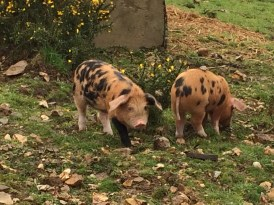 Very cute and inquisitive piglets