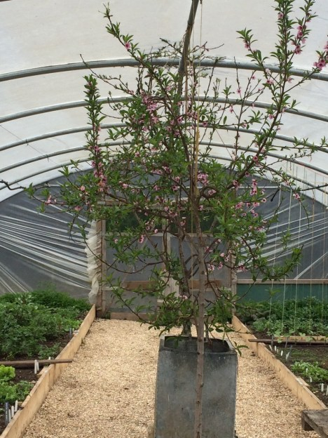 A fruit tree in a polytunnel - I don't know what type