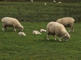 Some of their sheep and lambs