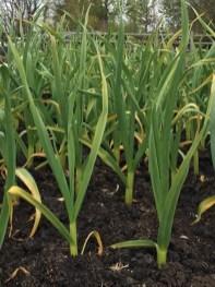 garlic, May 2016