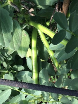 broadbeans in the polytunnel