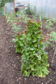 two Grenoble Red lettuces for seed saving
