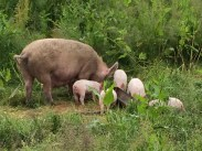Mother pig with piglets