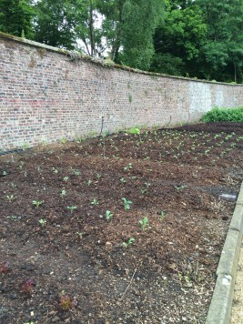 New plantings in the walled garden