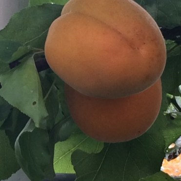 Ripe apricots in June