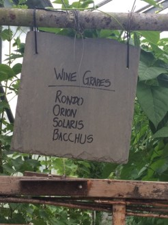 Grape varieties grown in the glasshouse