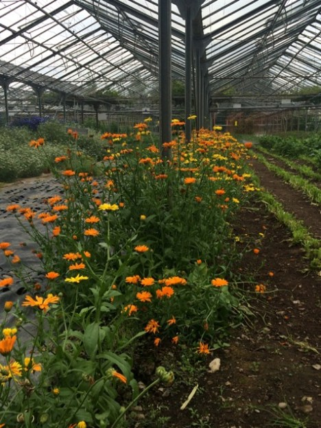 Companion planting of edible flowers