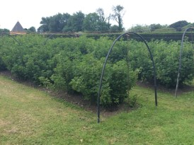 Soft fruit bushes, soon to be netted against birds