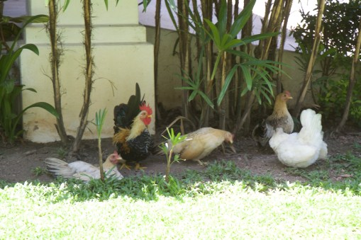 The chickens keep pests under control and supply the house with delicious fresh eggs