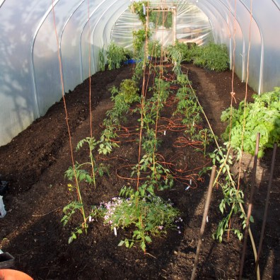 and started to plant the tomatoes