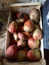 beetroot stored for the winter, simply in a box