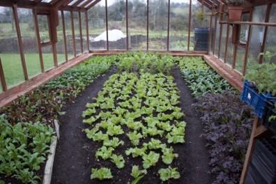 salad inside the greenhouse