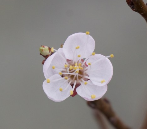 Flower on my new dwarf apricot