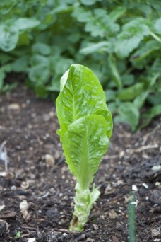 startled winter density lettuce, after picking