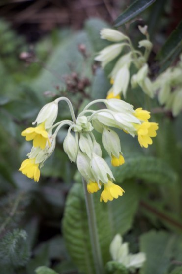 cowslips have naturalised in the perennial bed