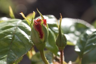 a rose just stating to bud