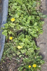 dandelions (for my rabbit) growing with wild strawberries