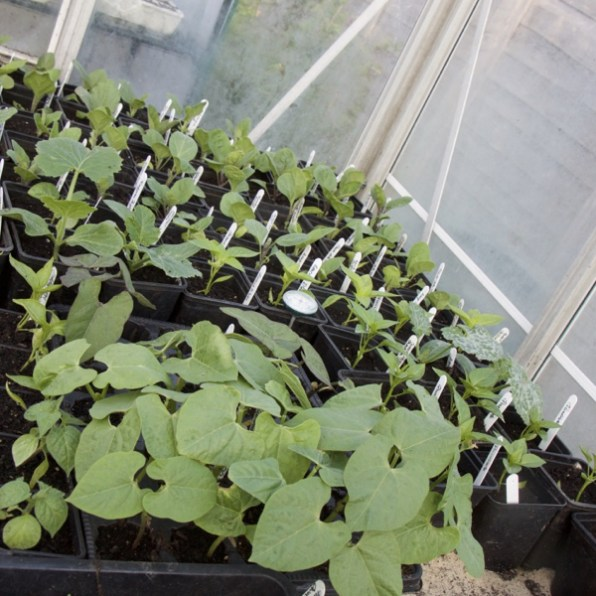 aubergines, chillies and dwarf French beans, for an early polytunnel crop