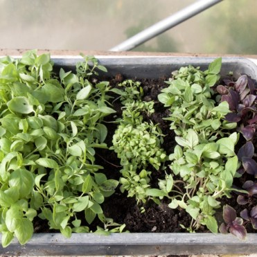 seed tray of different basil seedlings