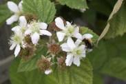 blackcurrant flowers