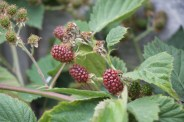 ripening thornless blackcurrant
