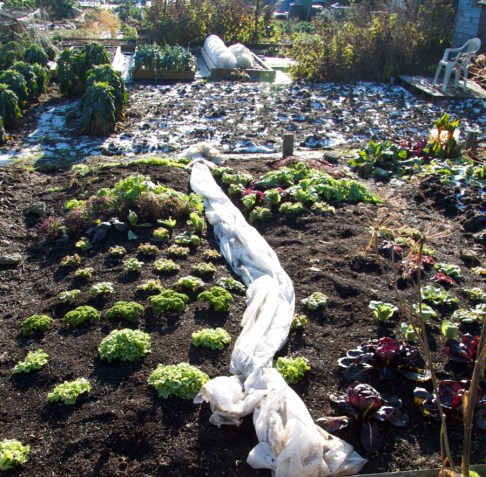 Salad at the allotment in December, ready to pick after the snow had thawed enough to remove the fleece