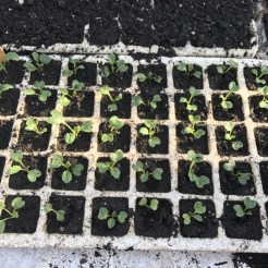 pricked out brassicas