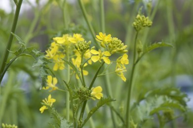 mustard in flower, tastes delicious