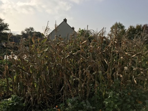 Most of the sweetcorn has been harvested.