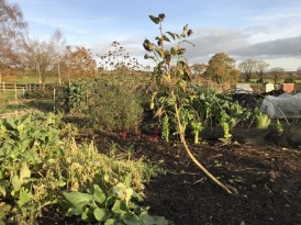 view down the allotment, standing on the polythene