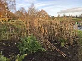 storm damaged poles and sweetcorn need clearing