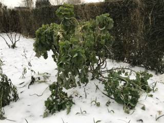 perennial kale looking frozen
