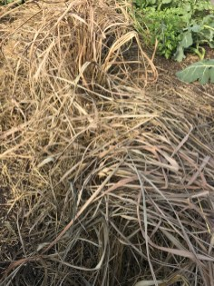 Lemon grass looks dead but might still be alive under the soil