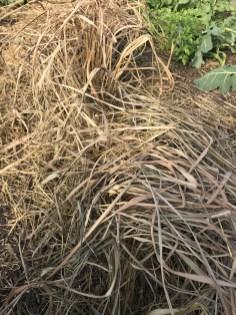 Lemon grass looks dead but might still be alive under the soil