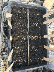 sowing into a seed tray