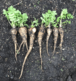 parsnips from last year's sowing