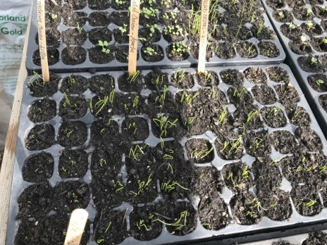 spring onion seedlings germinating