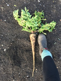 "This parsnip was 55cm (22"") long"