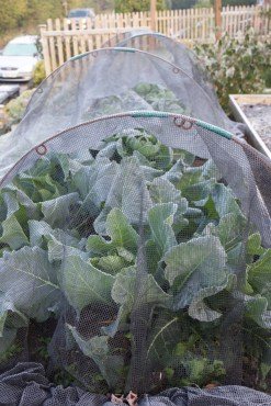 Frosted cabbages and sprouts