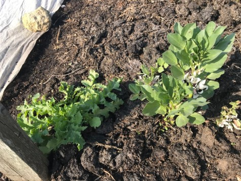 overwintered broad bean with a self sown poppy