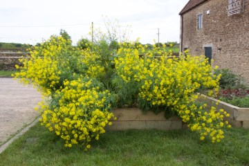 Flowering brassicas, Roth Bar and Grill