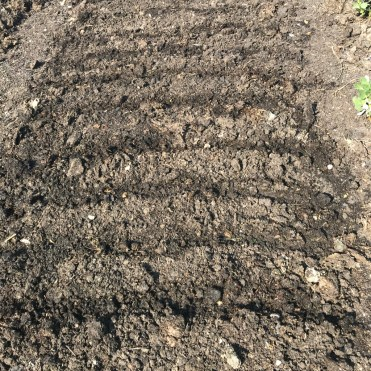 sowing parsnips