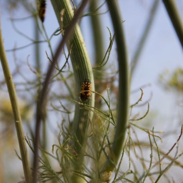 ladybird larvae on a dill stalk
