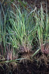 lemongrass ug up to be potted on for the winter