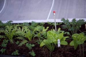 salad growing in a vegepod