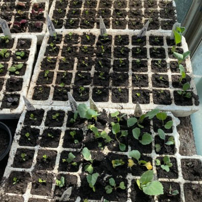 pricked out seedlings