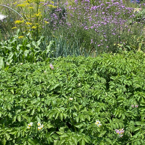 potatoes and flowering plants for biodiversity