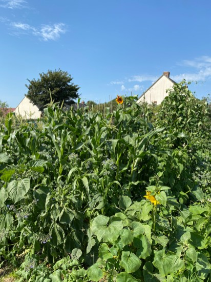 sweetcorn, sunflowers and squash
